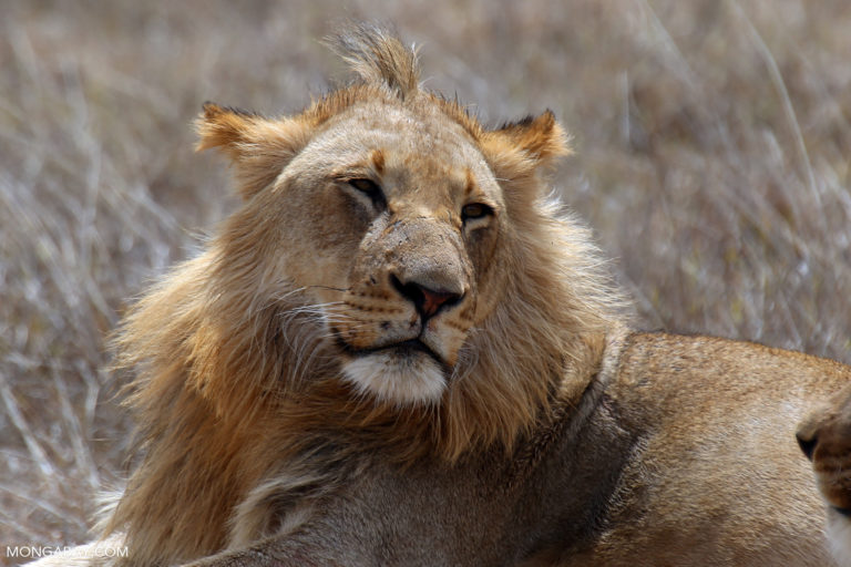 Male lion in South Africa. Photo by Rhett A. Butler