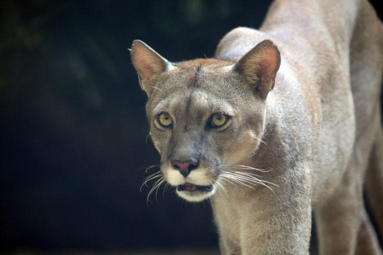 Puma. Photo by Rhett A. Butler