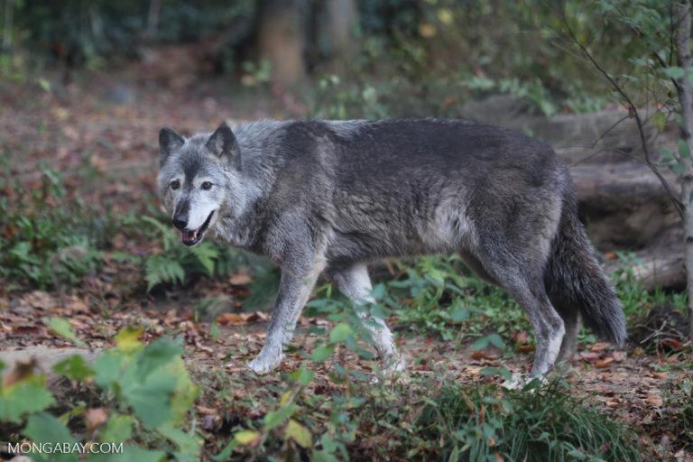 Gray wolf. Photo by Rhett A. Butler