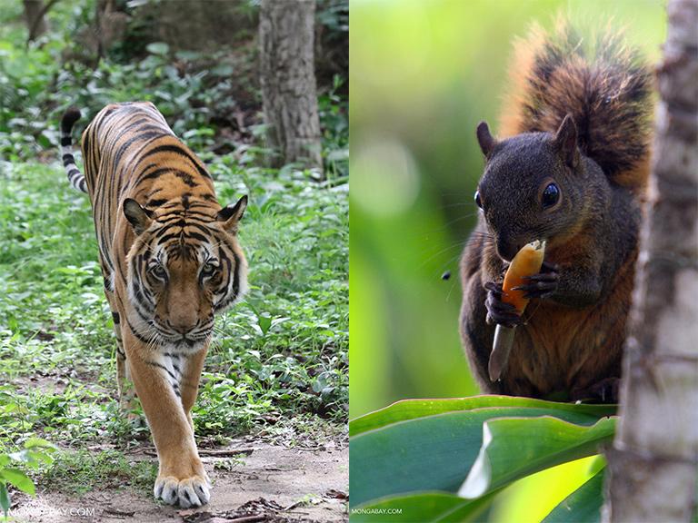 At the zoo: tiger versus squirrel