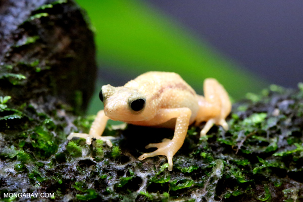 Kihansi spray toad, a species that was saved from extinction in the wild thanks to a captive breeding program. Photo by Rhett A. Butler
