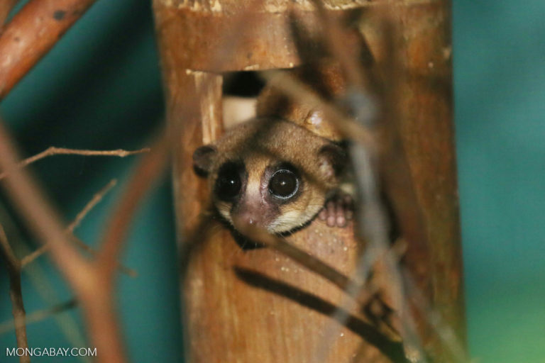 Dwarf lemur (Cheirogaleus sp) in a rehabilitation facility in Madagascar. Photo by Rhett A. Butler