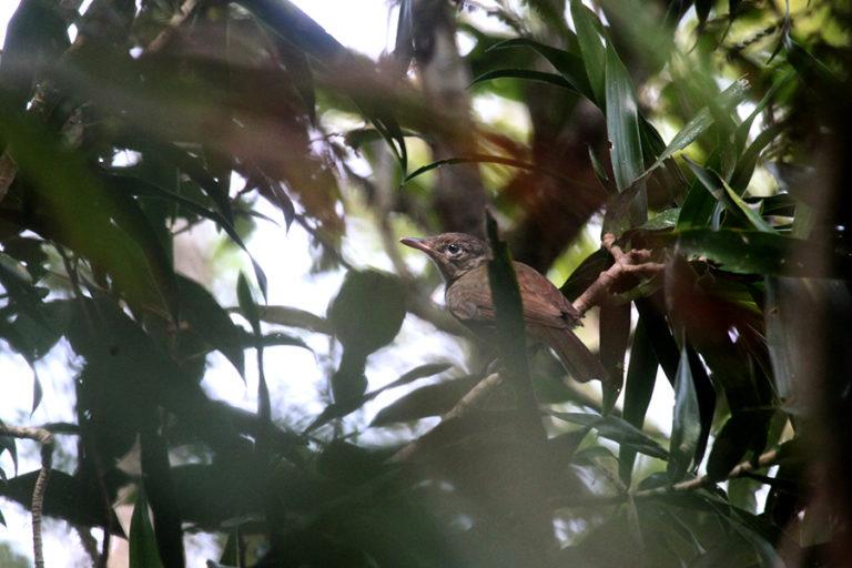 Protection flip-flop leaves rare Indonesian shrikethrush in