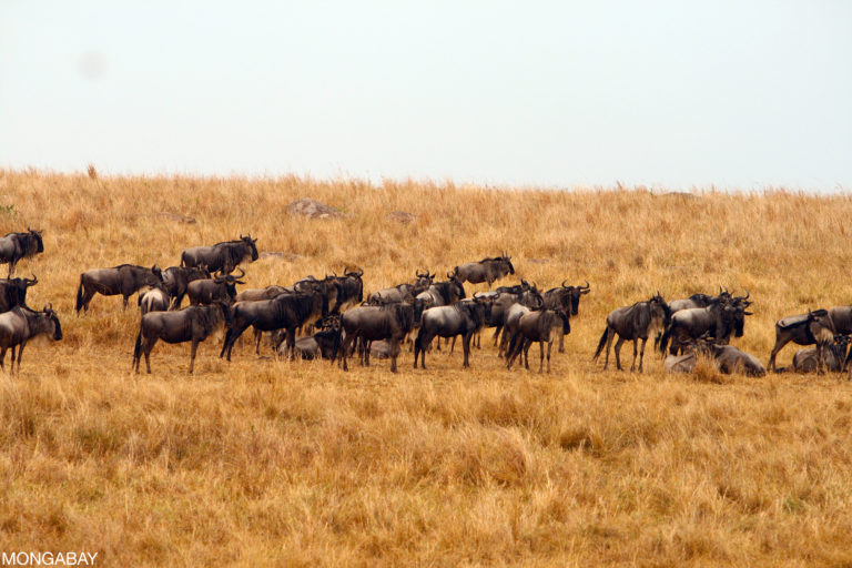 Herd of blue wildebeest in Kenya. Photo by Rhett A. Butler.