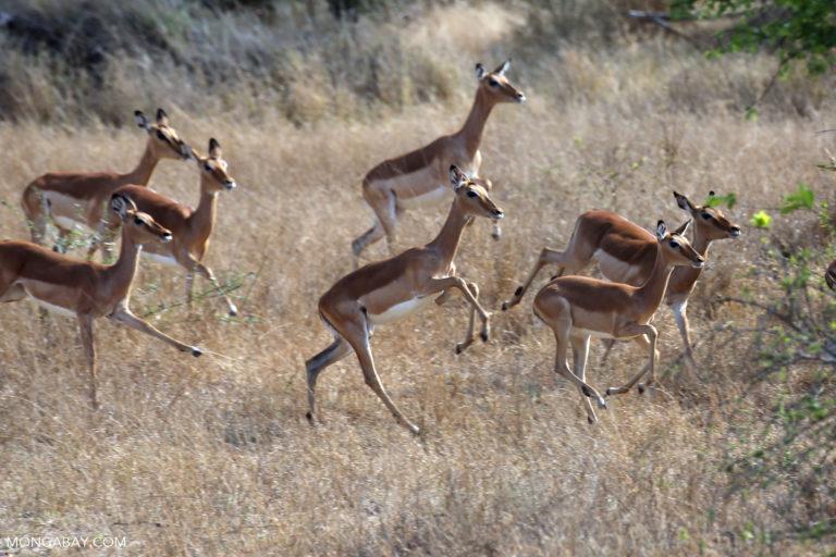 Impala in South Africa. Photo by Rhett A. Butler.