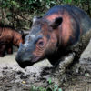 A Sumatran rhino in Indonesia. Photo by Rhett A. Butler