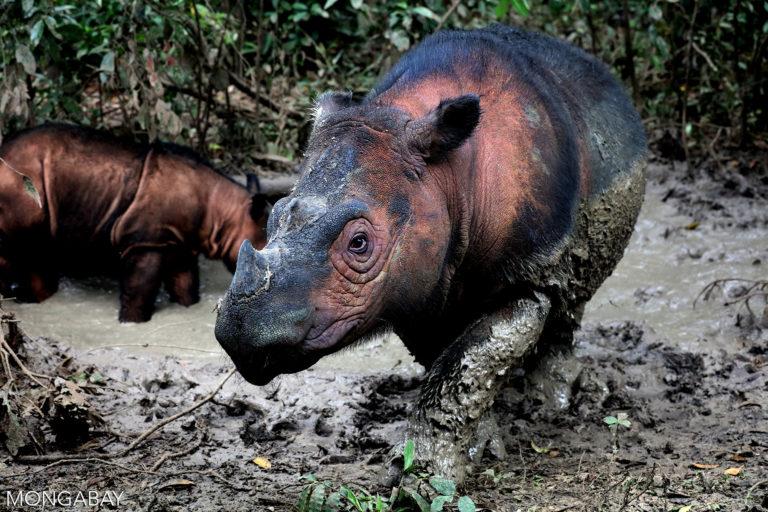 A Sumatran rhino in Indonesia. Photo by Rhett A. Butler