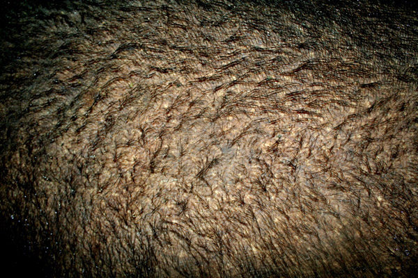 The hairy hide of the Bornean rhinoceros. The rhino, Tam, is a captive individual representing hopes for ex-situ breeding of the Critically Endangered subspecies of the Sumatran rhino.
