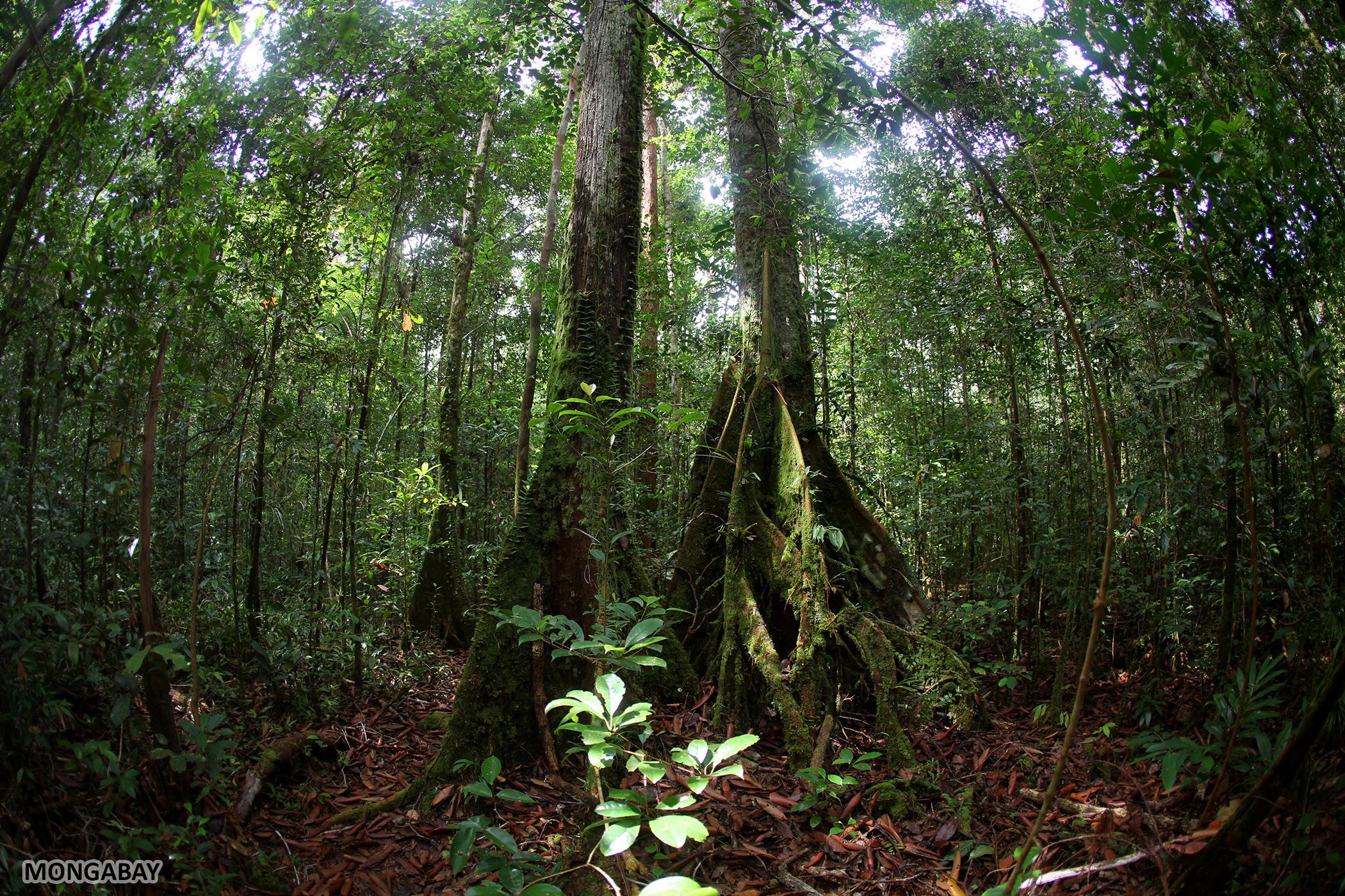Rainforest in Indonesian Borneo. Photo by Rhett A. Butler