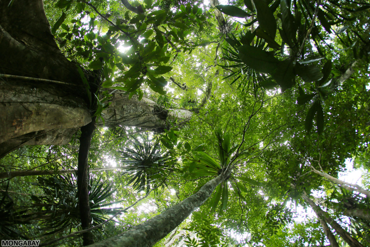 Rainforests in Eastern Madagascar were ransacked during Rajoelina's presidency for rosewood and other hardwoods.