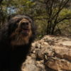 A spectacled bear in the rehabilitation and reintroduction program at Chaparrí. Photo by Matthew Weaver.