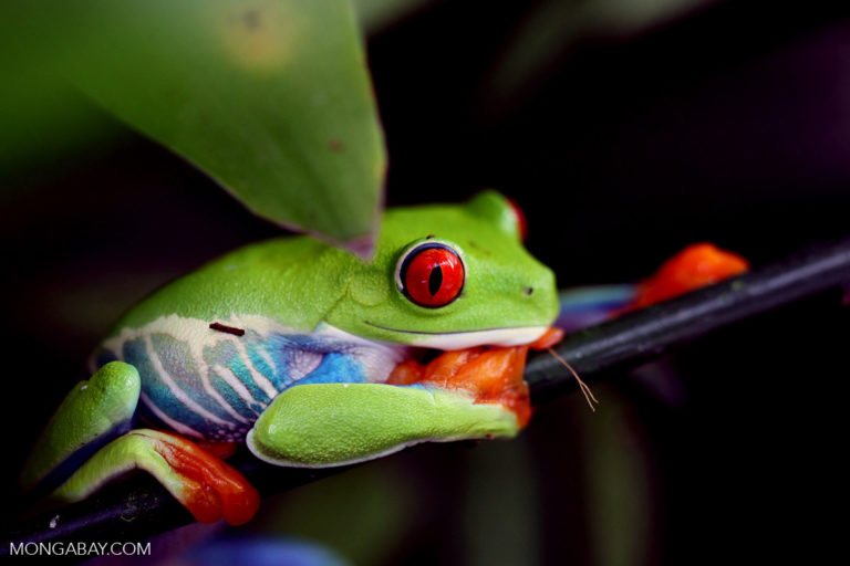 The red-eyed tree frog is found widely in lowland tropical rainforests from southern Mexico to northern Colombia.