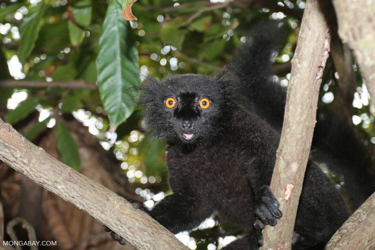 Male black lemur on Nosy Komba. Photo by Rhett A. Butler.