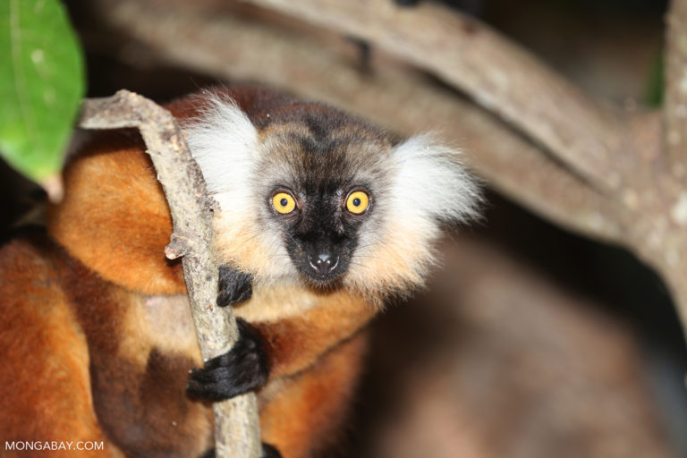 Female black lemur on Nosy Komba. Photo by Rhett A. Butler.
