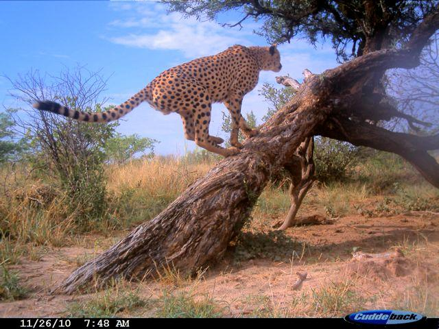 A cheetah at a marking tree in Ghanzi district, Botswana.