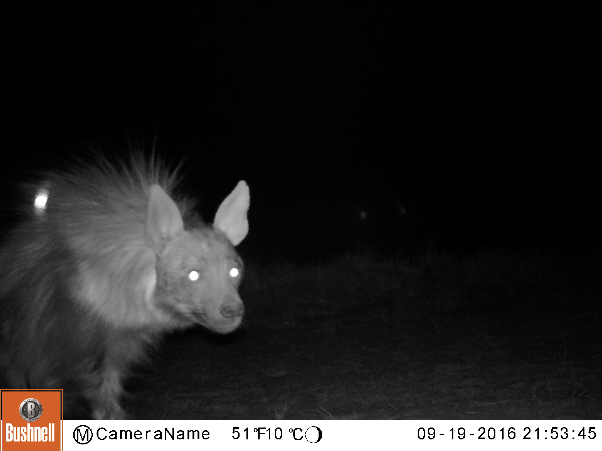 A brown hyena at night triggers a camera flash. Flashes help the researchers identify nocturnal animals but may also serve as deterrents that discourage the animals from approaching a nearby livestock corral.