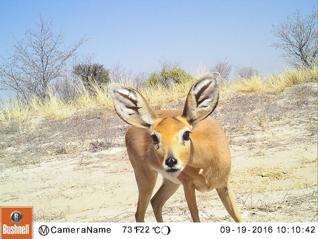 The cameras capture any species that pass in front and trigger the shutter. This steenbok is a dryland specialist like the cheetah.