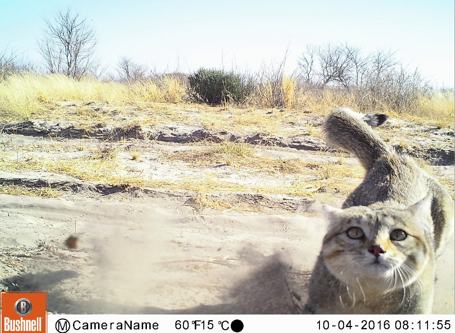 This African wildcat demonstrates that cheetahs are not the only wild cats caught in the camera traps.