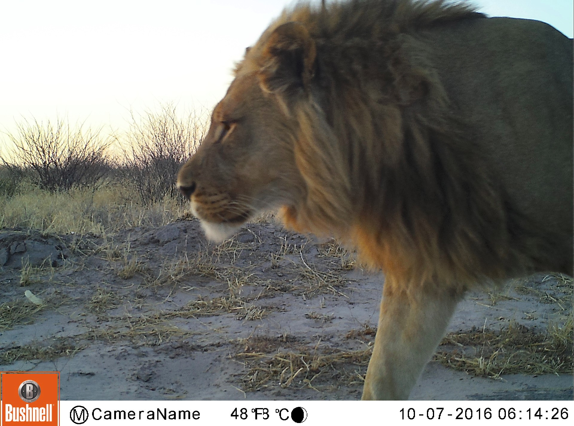 A passing male lion demonstrates that cheetahs are not the only wild cats caught in the camera traps.