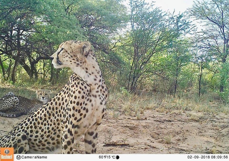 """It wasn't us."" A pair of cheetahs caught resting on camera. Cheetahs' diurnal nature and wide-ranging movements make them visible to farmers and blamed for livestock kills."