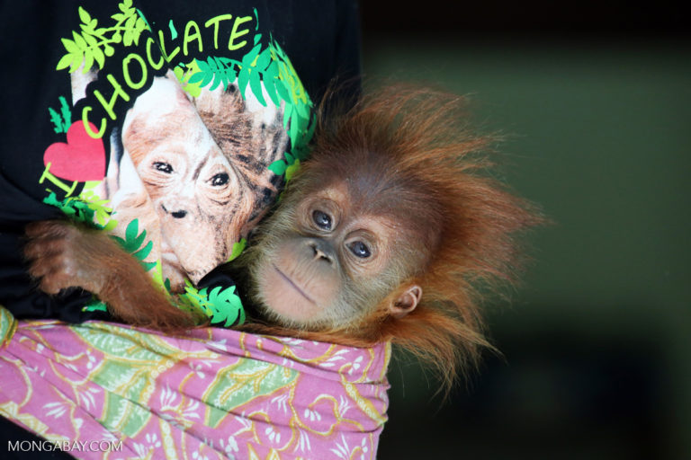 Oreo maker linked to destruction of orangutan habitat in Indonesia