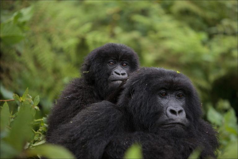 Plan to ship gorillas from DRC to Zimbabwe raises alarm