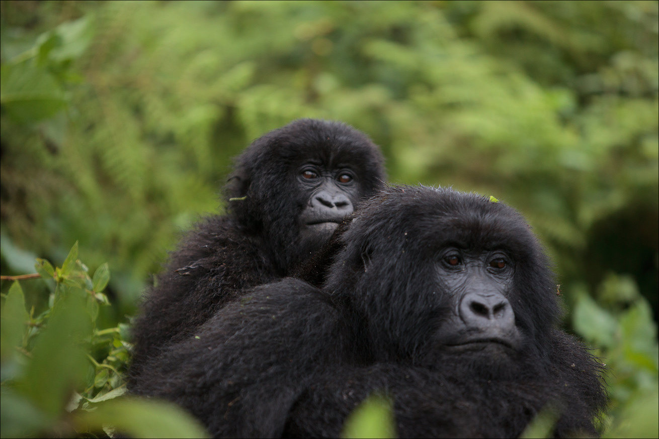 For Africa's great apes, a post-pandemic future looks beyond tourism