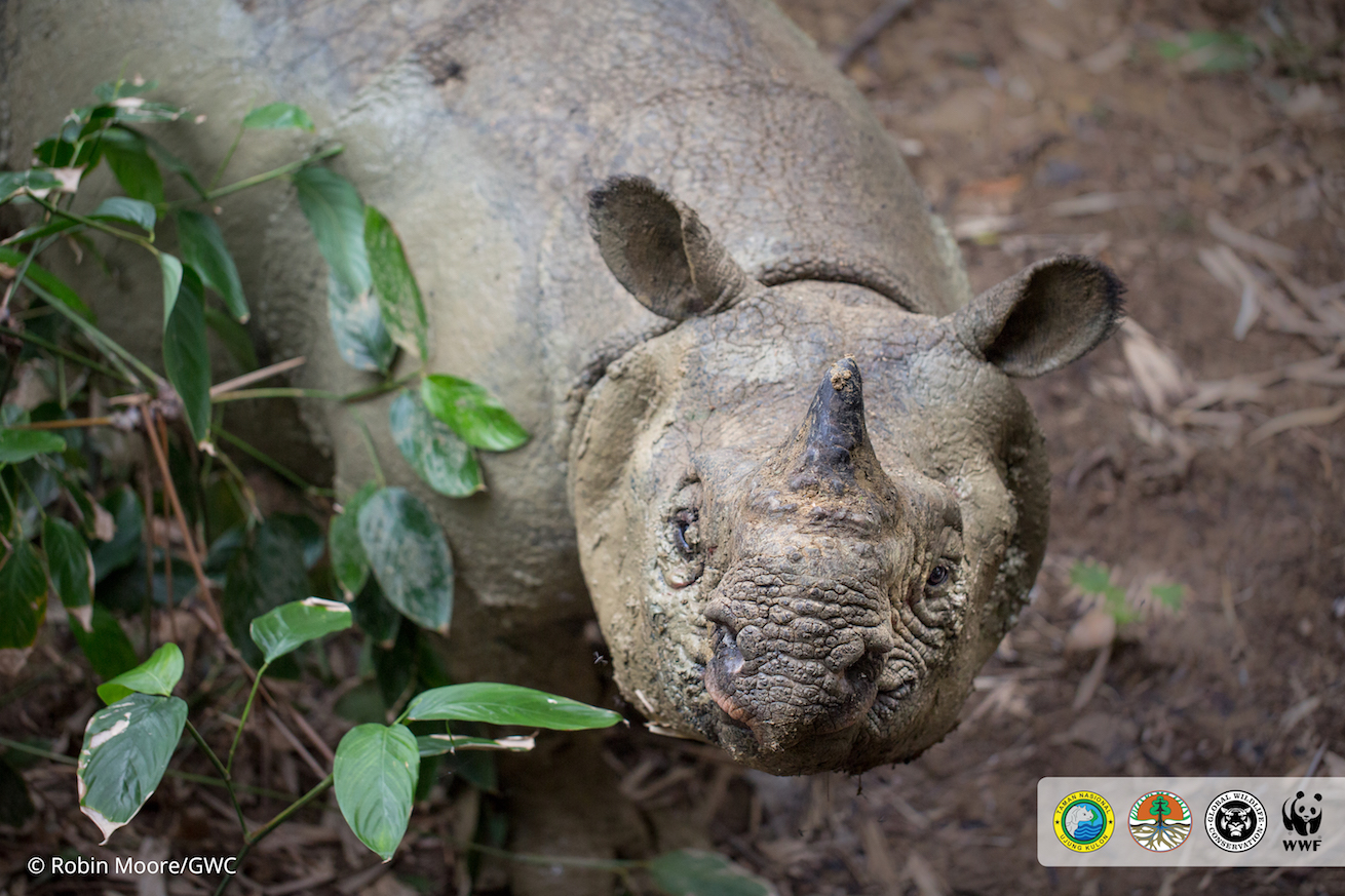 Jaw-dropping footage: conservationists catch Javan rhino in mud wallow