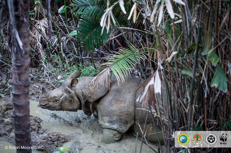 Jaw-dropping footage: conservationists catch Javan rhino in