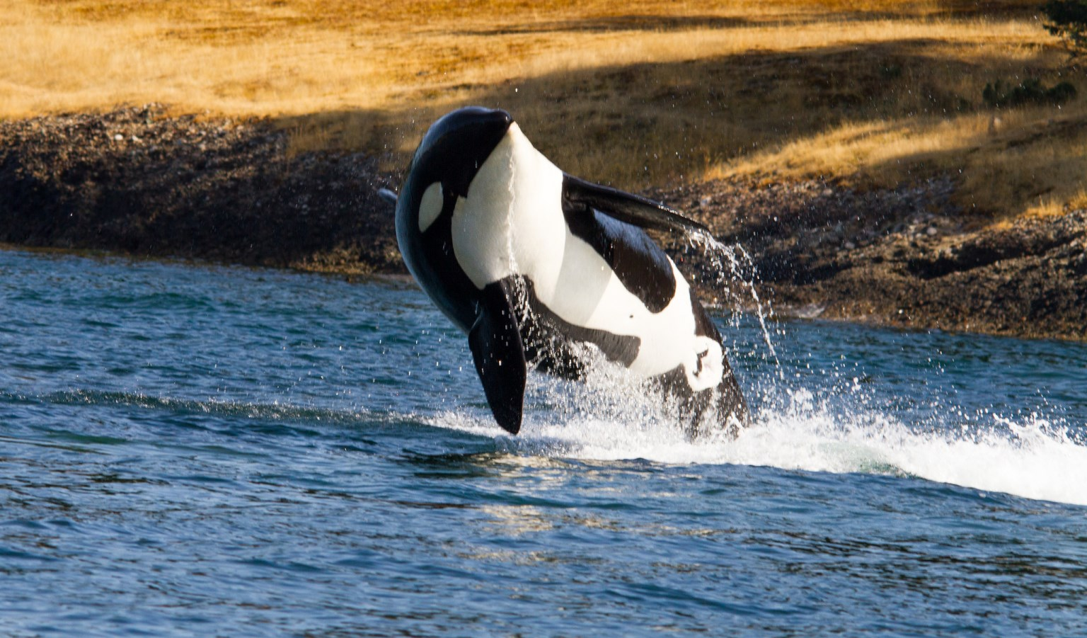 A breaching southern resident killer whale shows off its white belly.