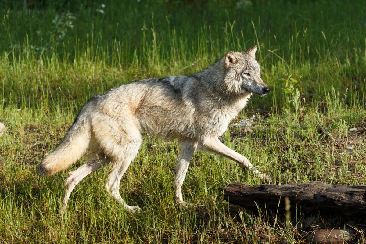 A grey wolf in Montana. Photo by Dan Zukowski.