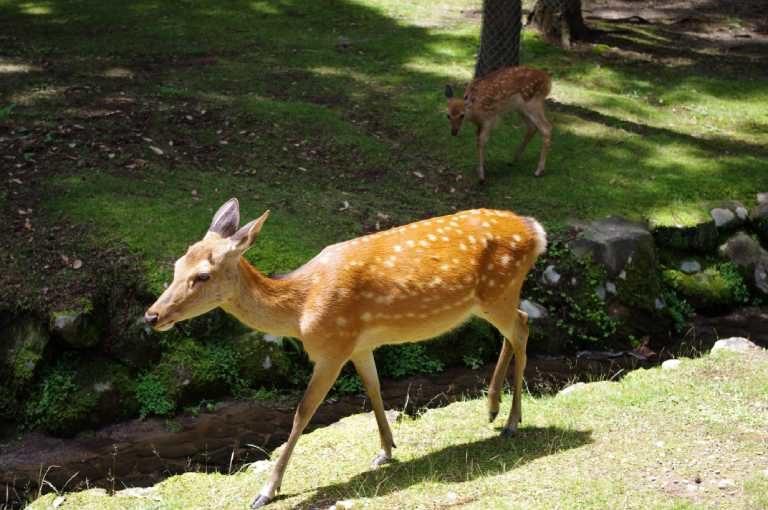 Sika deer in Nara, Japan. Photo by Jakub Halun/Wikipedia.
