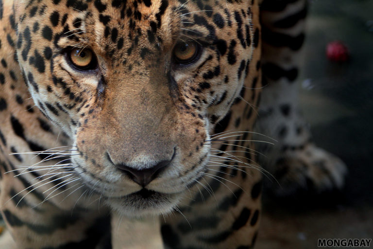 Jaguar in Colombia. Photo by Rhett A. Butler.