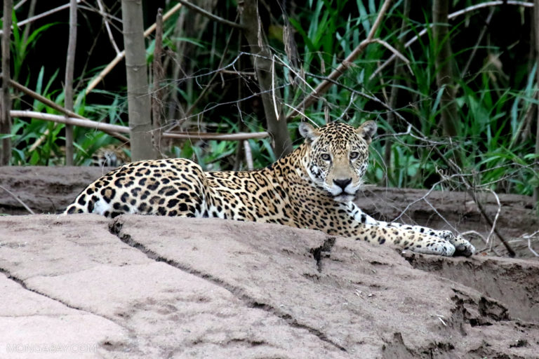 Jaguar in Madre de Dios, Peru. Photo by Rhett A. Butler.