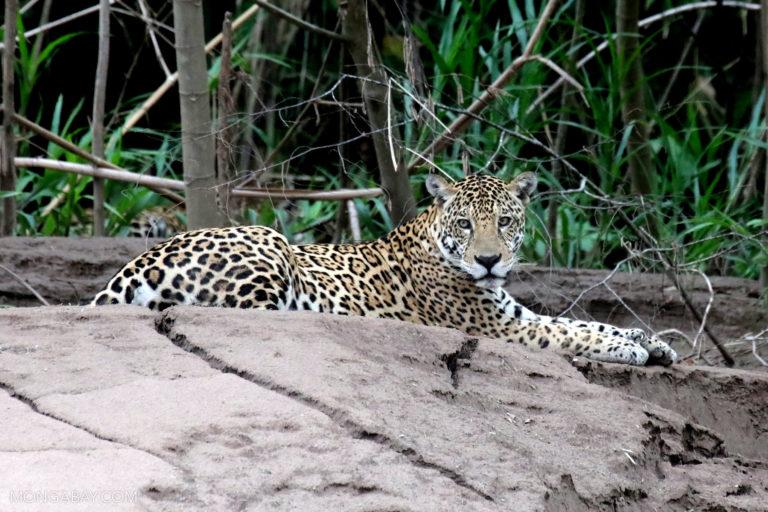 Jaguar in Madre de Dios, Peru. Photo by Rhett A. Butler.