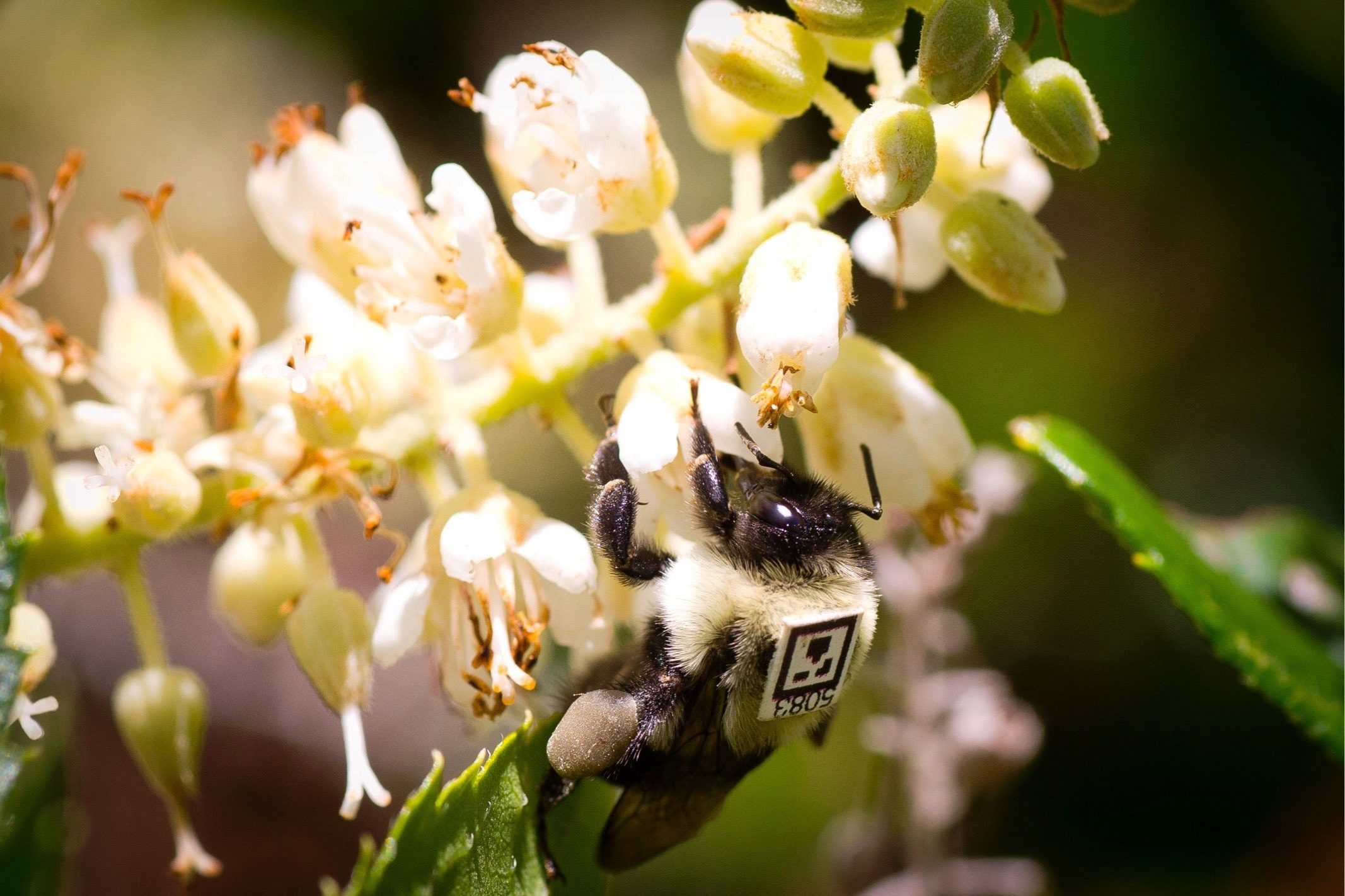 A bumblebee (Bombus impatiens) worker outfitted with a unique tag (BEEtag), foraging outdoors.