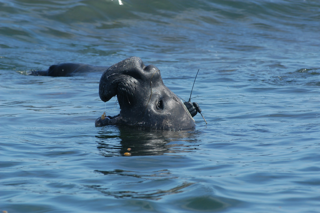 A satellite tracking tag on an elephant seal transmits when the animal surfaces. With their deep dives and rapid surface intervals, elephants seals are difficult to locate visually.