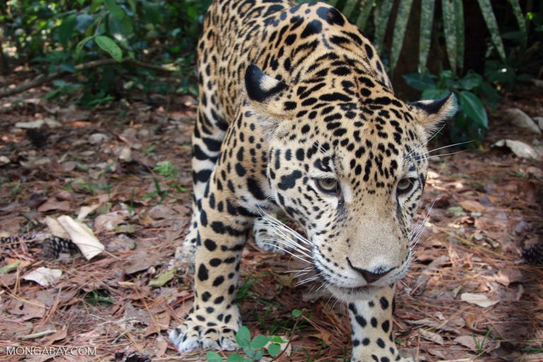 The Rio Platano Biosphere Reserve is home to wildlife like jaguar. Photo credit: Rhett A. Butler.
