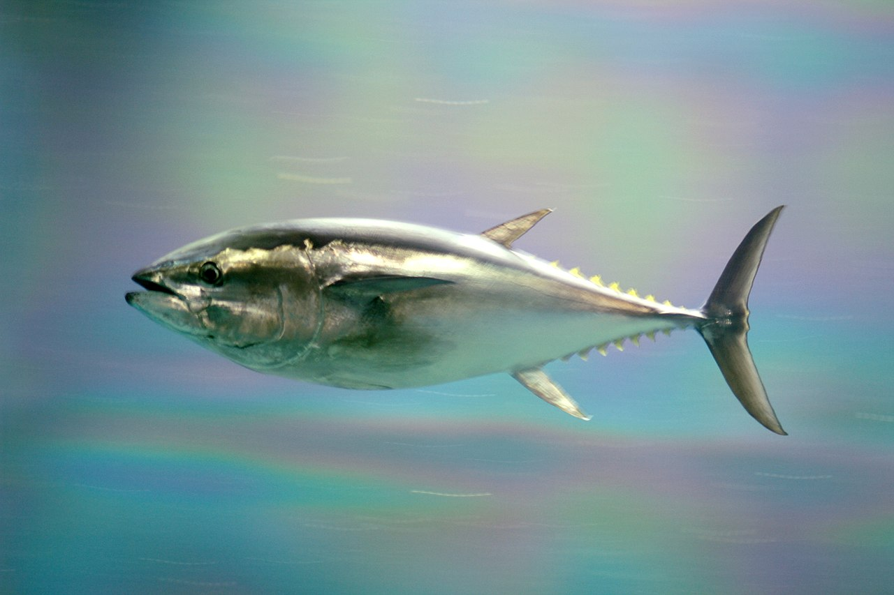 Pacific bluefin tuna weigh in at up to 450 kg (990 lb) and can reach 3 meters (10 ft) in length. They are warm-blooded so can still chase prey even in colder waters.