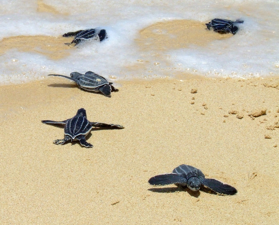 Leatherback turtle hatchlings crawling to the sea.