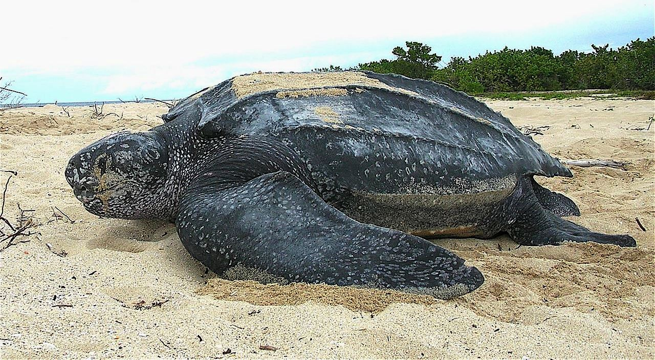 Leatherback turtles travel thousands of kilometers/miles between their nesting beaches and feeding zones, sometimes across the Pacific Ocean. Like bluefin tuna, they can maintain body temperature in cold waters. They can also dive down to 1,280 m (4,200 ft).