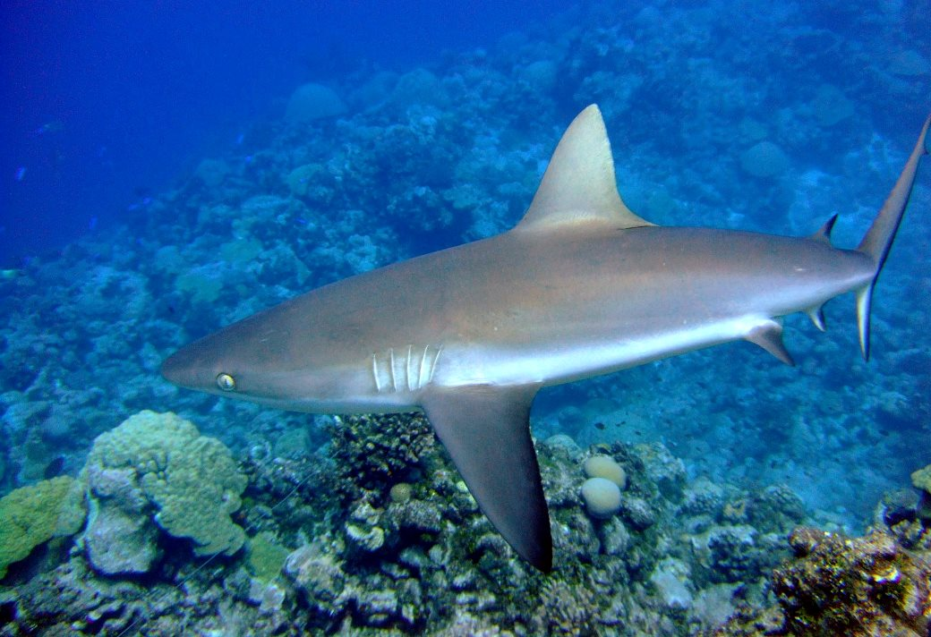 A gray reef shark. in one study, 8 of 15 satellite tagged sharks were suspected of being illegally fished from within a shark sanctuary.