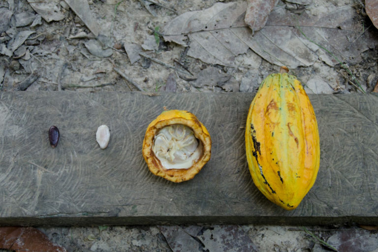 A cocoa seed and its fruit on display. Photo by Sarita Reed.
