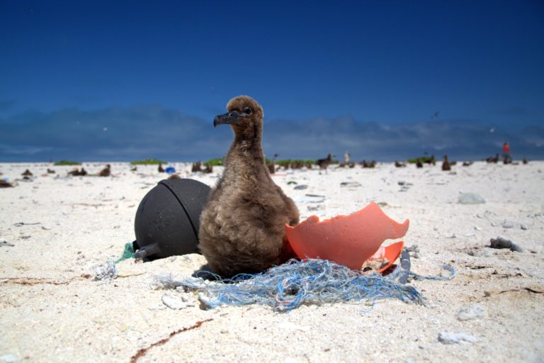 A Laysan Albatross chick rests on a small derelict fishing net. Photo courtesy of NOAA.