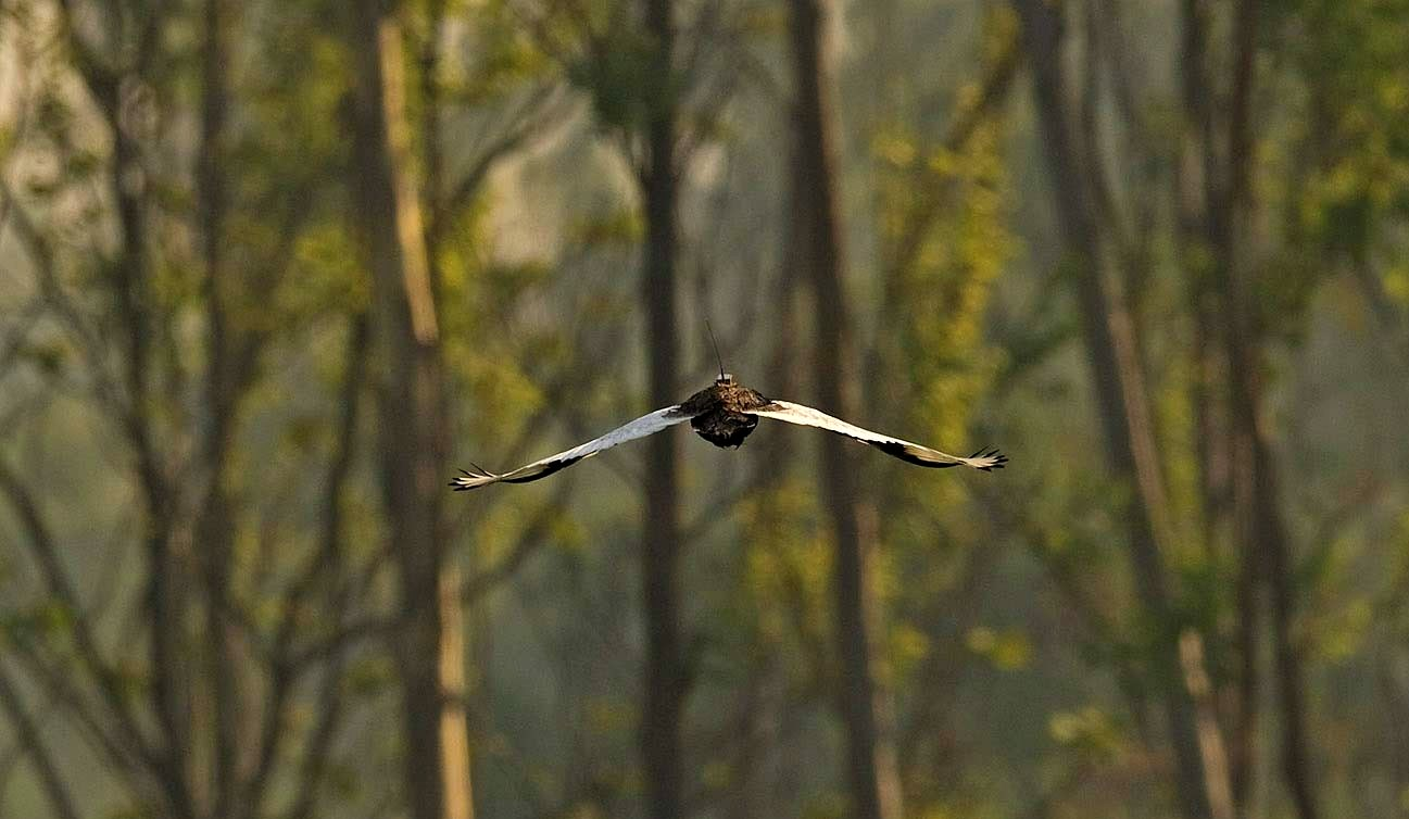 A Bengal florican flies off after being tagged and released in Pilibhit National Park, Uttar Pradesh, northern India.