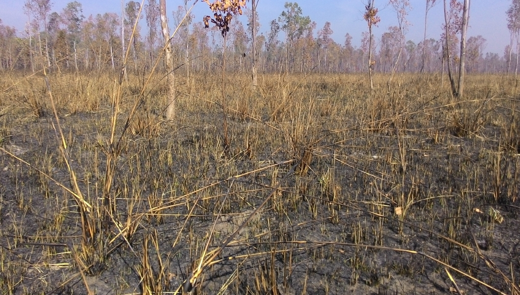 Grassland management at Pilibhit National Park in India includes prescribed burning of grasses in Bengal florican breeding habitat before the birds arrive there early in the year.