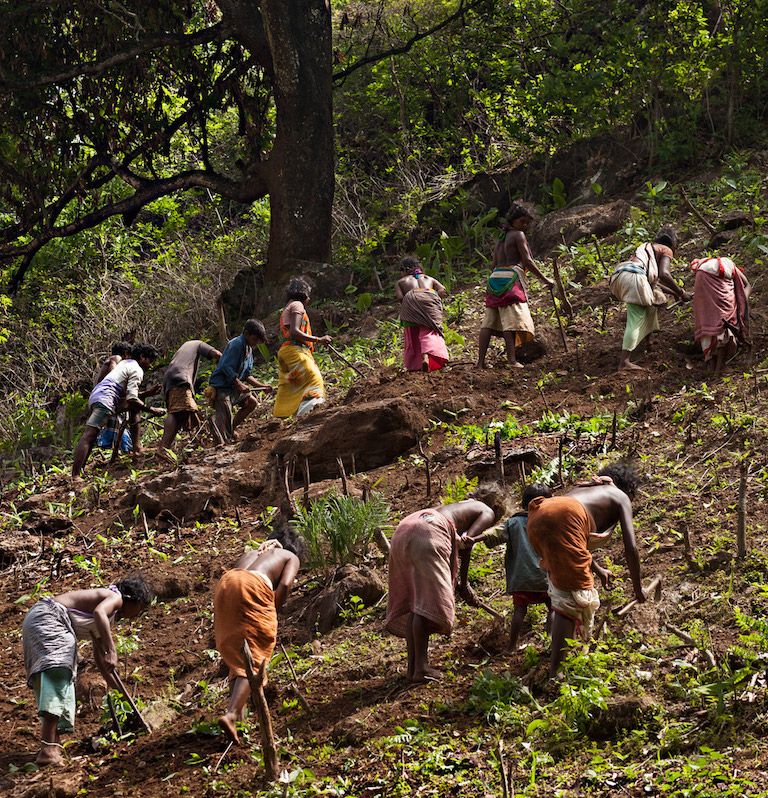 Dongria farmers from Hutesi village work together on a single hillside plot. Image by Indrajeet Rajkhowa.