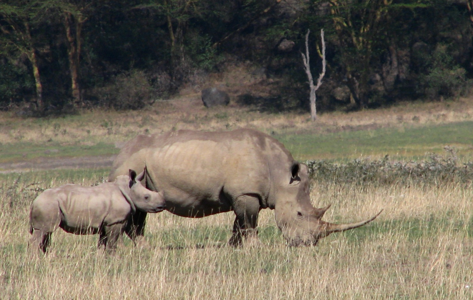 A grazing white rhino and calf in Kenya's Nakuru National Park benefit from protection from imaging technology and rangers on the ground.