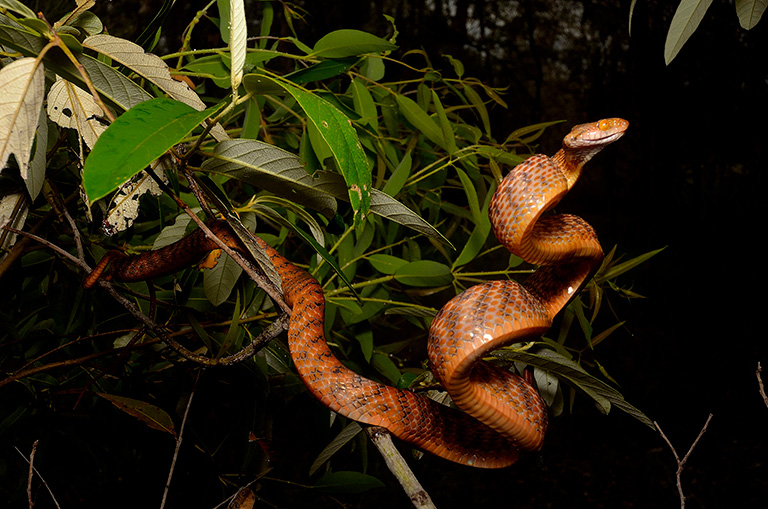 The brown tree snake is an adept climber and often inhabits trees and shrubs. Photo courtesy of Bryan Fry.