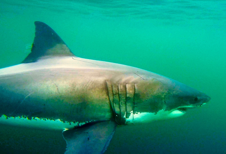 "A white shark (Carcharodon carcharias), commonly referred to as a ""great white shark."" Photo courtesy of Kevin Lafferty."